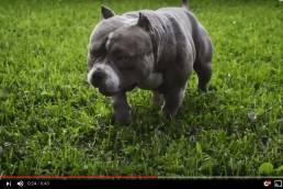 American Bully Dog Training Tips | Best American Bully Breeders