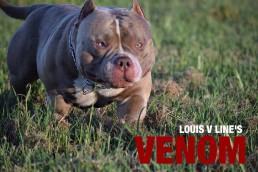 American Bully Stud Service | Top American Bully Breeders | Venomline