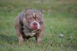 Louis V Line's Venom | American Bully Stud | Top American Bully Breeders