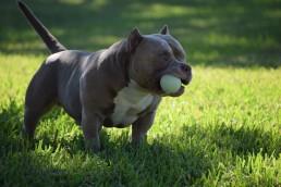 Phenotype and Genotype | Best American Bully Breeders | Venomline