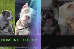 Venomline Colors | American Bully Colors | Top American Bully Stud