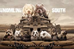 Venomline South | Female American Bully | Best American Bully Breeders
