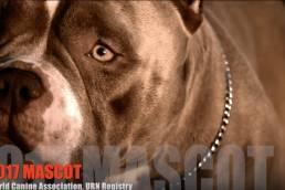 Pitbull Stud Fees | American Bully Stud Service | Louis V Line's Venom