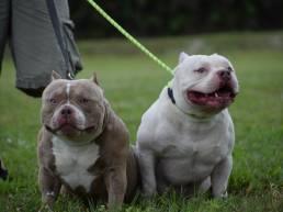 Extreme Pocket American Bully | Top Pocket Bully Breeders | Venomline