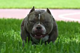 Venom X Vita | Pocket Bully Puppies for Sale | Extreme American Bully