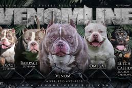 Bully King Magazine | Pocket American Bully Breeders | Venomline
