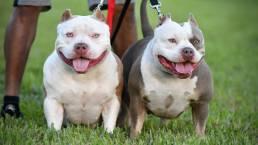 Top Pocket American Bully Kennels | Best Pocket Bully Breeders | Best Tri Color Pocket Bully Studs, Females & Puppies For Sale | Venomline