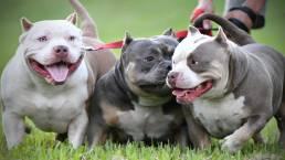 Pocket Bully Kennels, American Bully Breeders, Best Pocket Bully, ABKC Champion Breeder