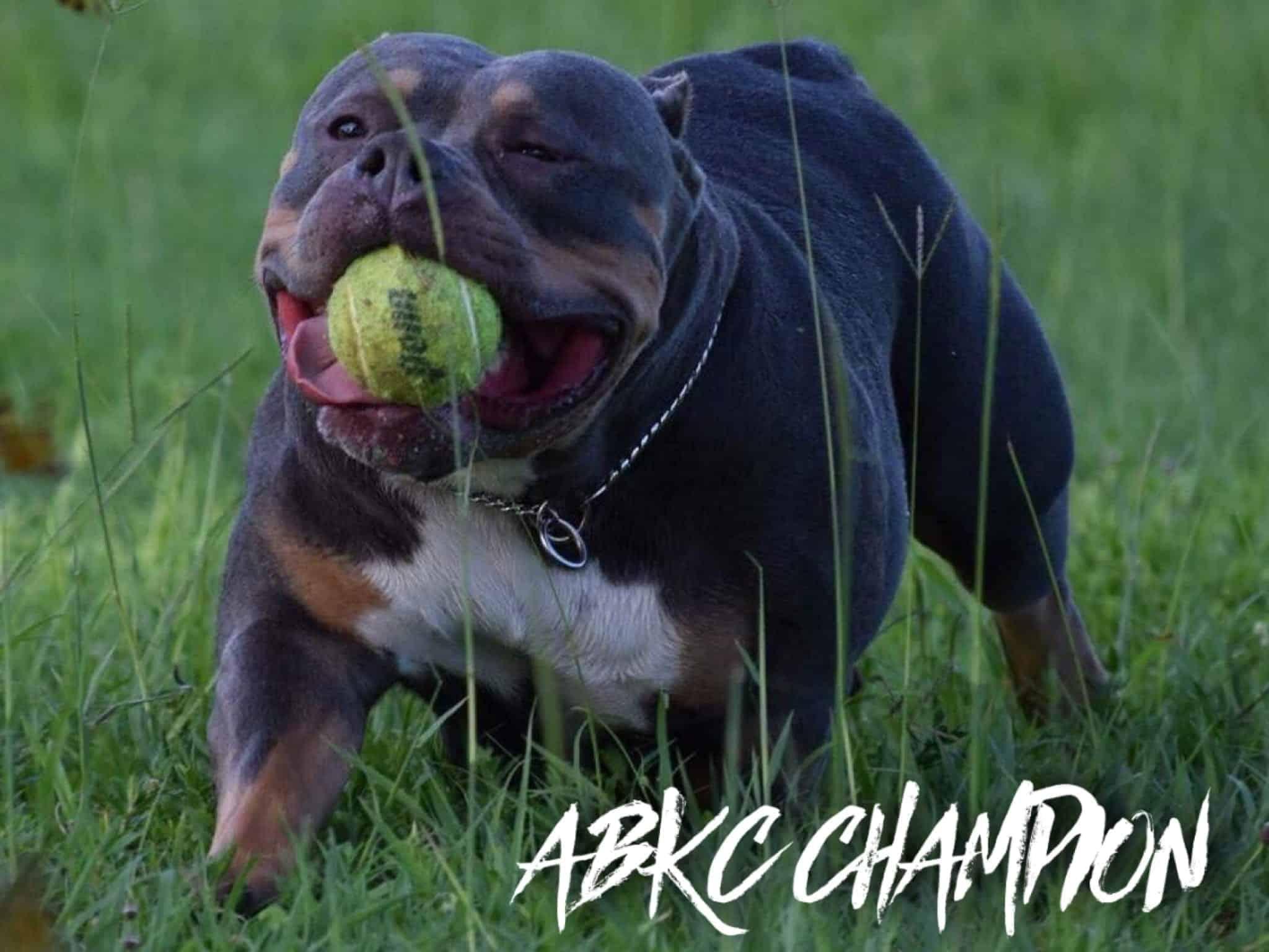 ABKC Champion Lucky Lucianna Pocket Class