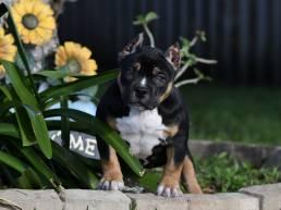 Tri Color American Bully puppies for sale, Grand Champion Rocko, Venomline