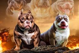 Best-American-Bully-Breeders-American-Bully-Kennels