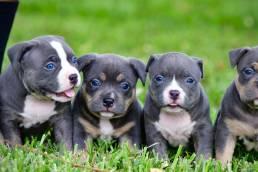 Best_American_Bully_Breeders