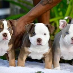 Best American Bully Breeders, American Bully Kennels in Florida, Top American Bully Kennels, Best Pocket American Bully Breeders, ABKC Champions, American Bully Pocket, Pocket American Bully Puppies, For Sale, Venomline, Tri Color, Bully